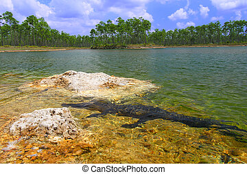 American Alligator - Florida - An American alligator rests...