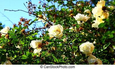rose bush with flowers at sunset