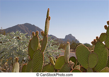 Prickly Pear and Camelback Mountain - Prickly Pear cactus...