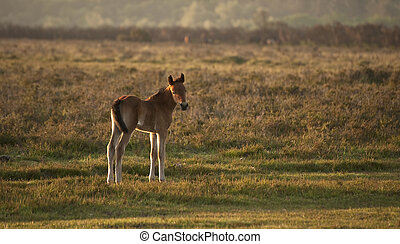 New Forest pony foal bathed in early morning sunlight in...