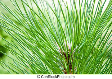 Pine branch - Close-up photo of pine branch.