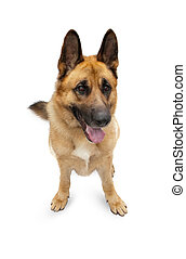 Beautiful German shepherd on a white background
