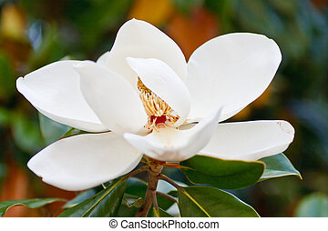 White Magnolia in Full Bloom - A white magnolia flower in...
