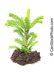 Green seedling isolated - young green sapling fir, pine