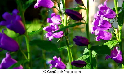 pink campanula flower at sunset