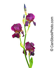 branch of iris flowers and buds on a white background