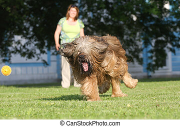 Playing dog, french shepherd briard
