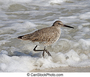 Willet in spring 2 - Willet Tringa semipalmata in spring