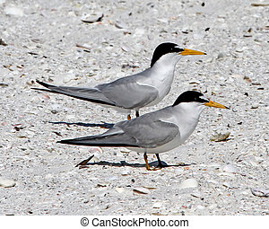 Least Tern (Sternula antillarum) pair on beach