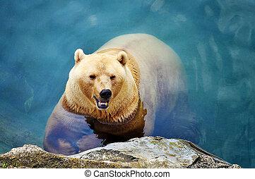 Polar Bear - beautiful polar bear swimming in the pool