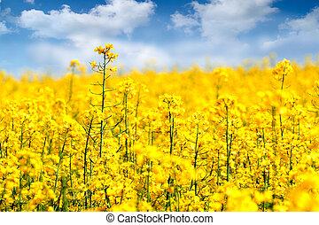 Rape flowers - Yellow Rape flowers field in summer.