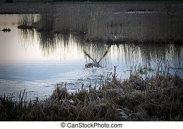 Two birds fighting in a lake in the early spring