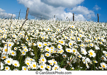 Rural scene with white flowers field.