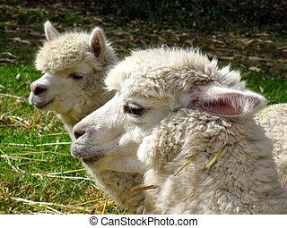 Llamas - A pair of llamas in Peru