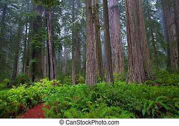 Redwoods - Huge Ferns in foggy  Redwood National Park