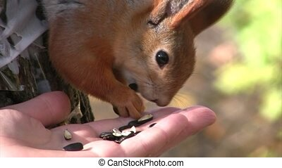 Squirrel eats seeds from palm of person. - Squirrel eats...