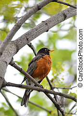 robin bird - American robin sitting on the tree branch