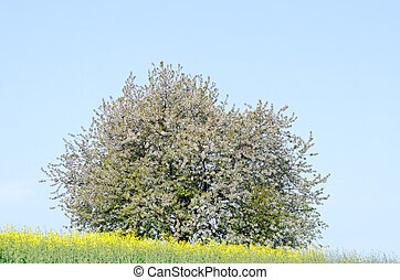fruit tree - a fruit tree in a field of rapeseed