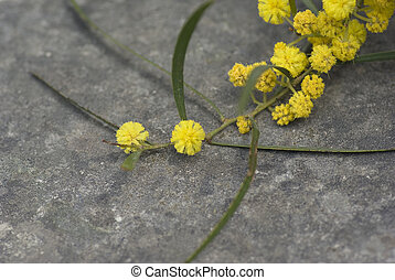 Mimosa - Twig of mimosa tree with yellow flowers against...