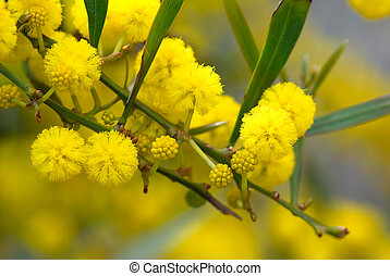 Mimosa tree with yellow fluffy flowers in spring.