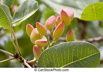 Cluster of pistachio - The cluster of ripening pistachio....