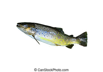 Brown trout isolated on white