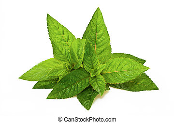 Mentha piperita - Peppermint leaves isolated on white