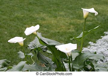 Calla-lily in a garden