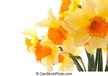 Yellow with orange daffodil flowers in closeup over white...