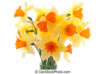 Yellow with orange daffodil flowers in vase over white...