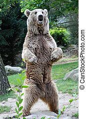 bear - beautiful bear