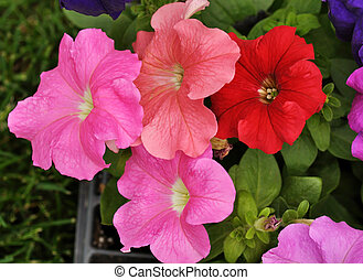petunia - colorful petunia flowers for garden , close up