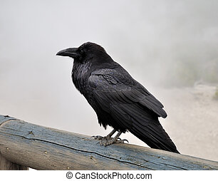big black raven - big black wild raven sitting on a wood in...