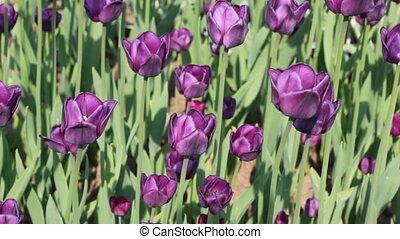Flowerbed with violet tulips - closeup of flowerbed with...