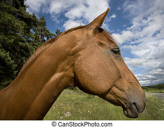 Brown horse - Head of brown horse with blue sky