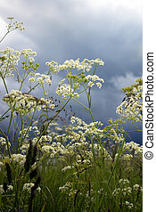 Cow Parsley - Close-up of cow parsley with cloudy sky in the...