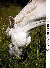 White horse - Head of white horse eating grass