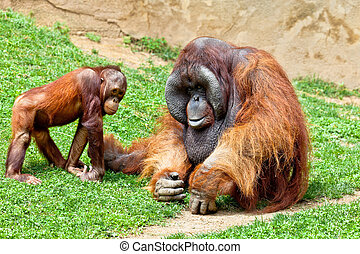 Orangutan of Borneo, Pongo Pygmaeus - Two beautiful specimen...