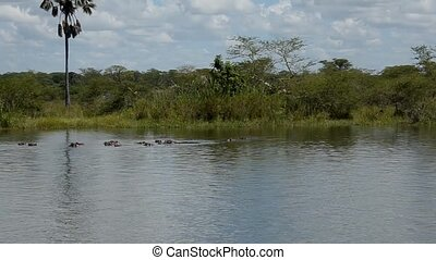 river - hippos in the river