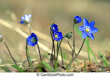 Anemone Hepatica - Close up of bunch of anemone hepatica...