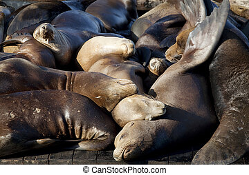 Sea Lions Sleeping on Dock - Sea Lions sleeping on dock,...