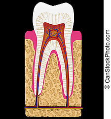 Dental medicine: Tooth cut or section isolated over black...