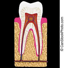 dental, medicine:, dente, corte, ou, seção,...