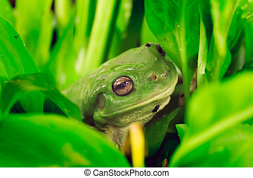 Eye of frog - Green tree frog close up