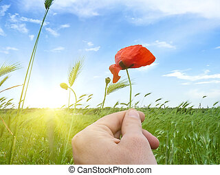 poppy flower in the hand of man against the natural...