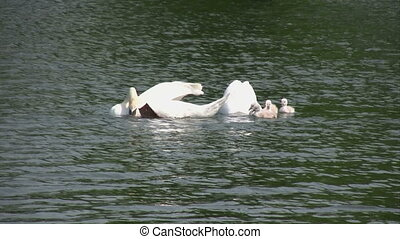 Swan family in the lake - Outdoor footage of two Adult Swans...