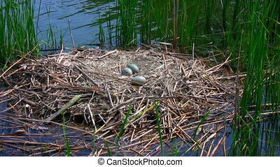 Swan nest. - Outdoor Footage of Swan nest and Swan eggs in...