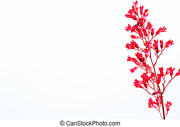 Heuchera - flower Heuchera on a white background