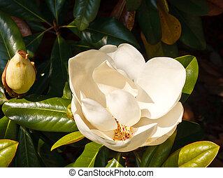 White Magnolia Blossom on Tree - White magnolia blossom on a...