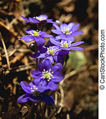 Anemone Hepatica - A bunch of Anemone Hepatica in the early...